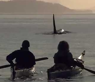 Watch killer whales from a kayak in British Columbia