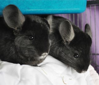 Brad and Angelina's latest wedding gift: chinchillas!