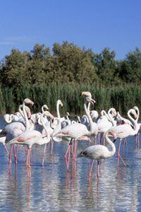 Pink flamingos, the Camargue, France