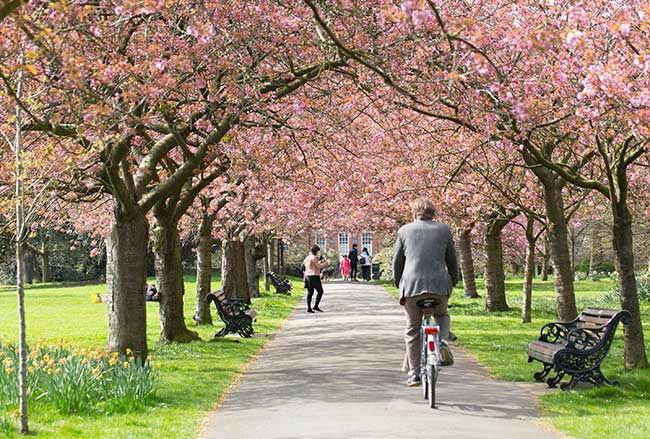 cherry-blossoms-greenwich-park
