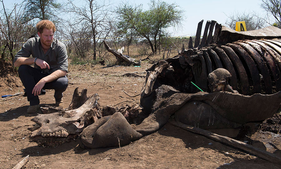 The staunch conservationist is examined the carcass of a rhino slaughtered for its horn in Kruger National Park,  South Africa. 