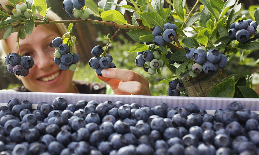 <b> Blueberries </B>