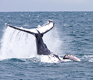 Whale song and courtship in the Caribbean