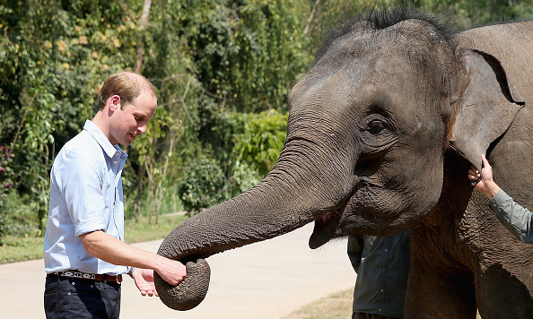 During a royal tour of Asia Prince William met with Ran Ran, a 13-year-old rescued female Asian elephant and fed her multiple carrots. <br>