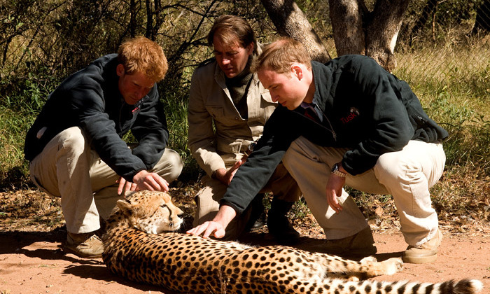During their 2010 trip to Botswana Prince William and Prince Harry got better acquianted with a cheetah at the Mokolodi Education Centre.<br> Photo: Getty Images