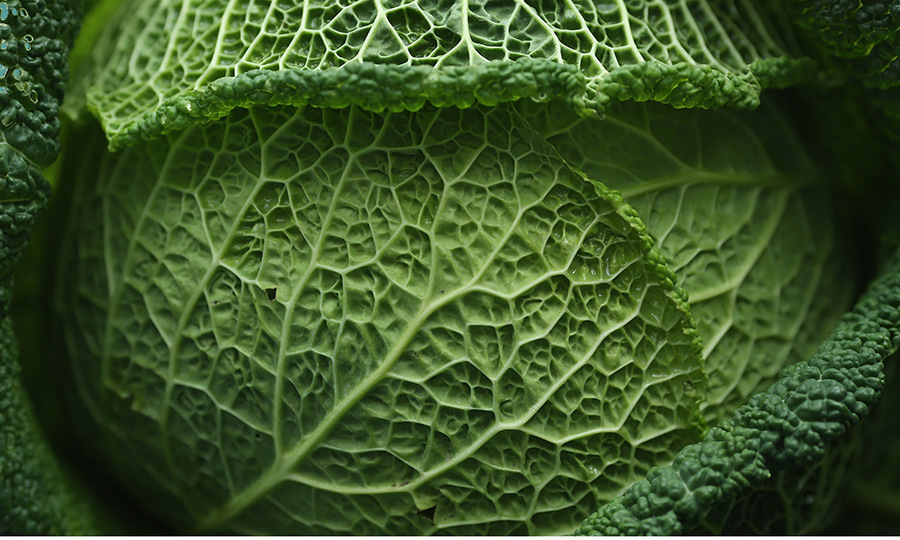 <b>Cabbage </B>