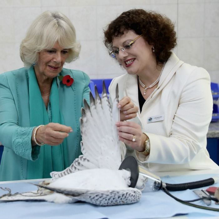 Camilla was shown a falcon under sedation, while touring the Abu Dhabi Falcon Hospital.