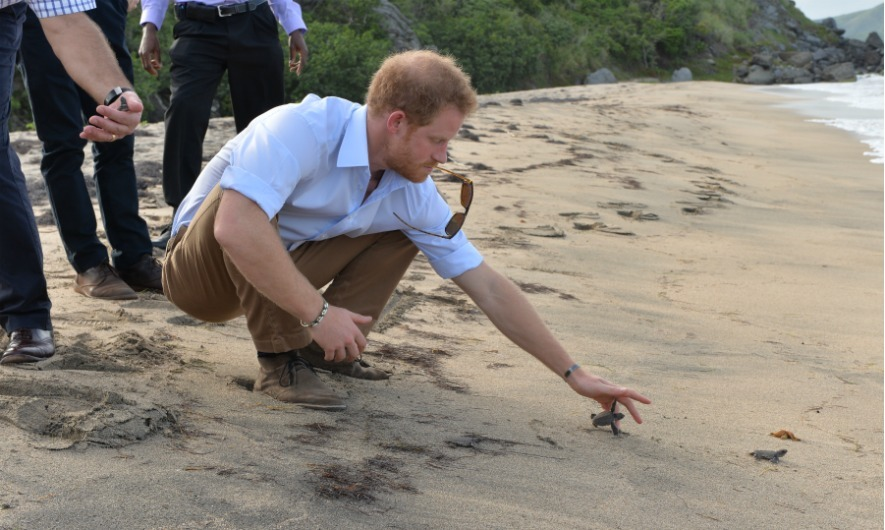 It isn't just the people of the island that Harry charmed. The Prince released nested turtles into the wild on Lover's Beach in Nevis. 