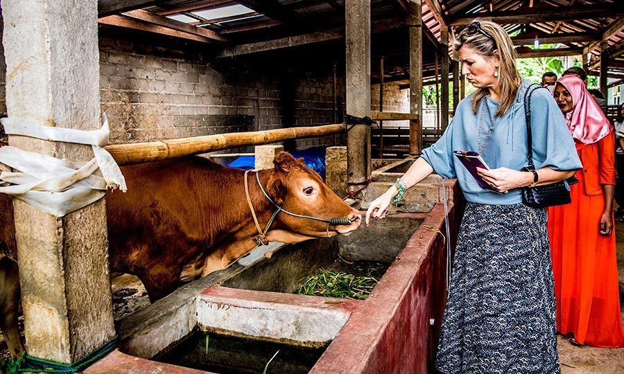 The Dutch queen also stopped to get up close and personal with some cattle during her Indonesia visit.